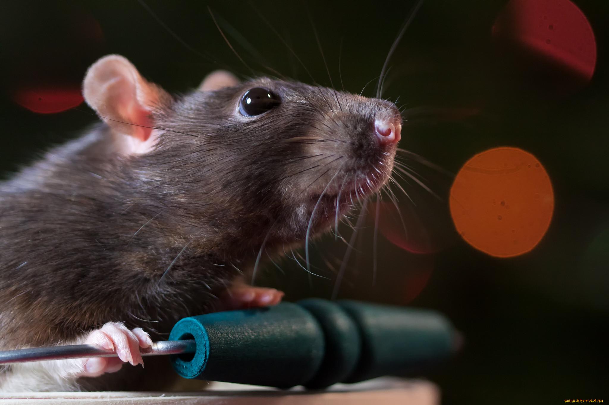 Картинки крыс с словами